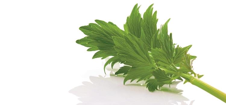 Любисток: полезные и лечебные свойства и противопоказания, фото, заготовка и хранение травы