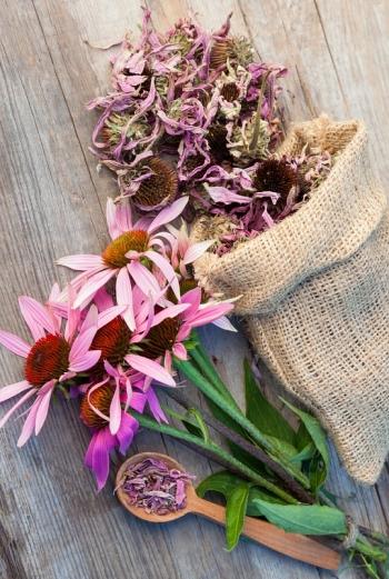 Эхинацея: лечебные свойства и противопоказания, советы по выбору, сбору и заготовке сырья