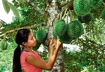 Девушка собирает фрукты
