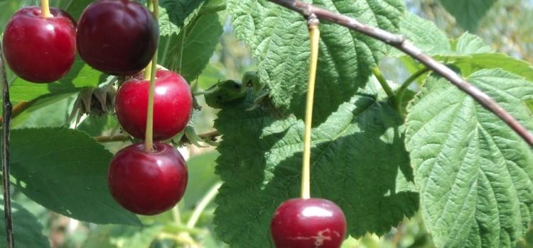 Все о полезных свойствах и противопоказаниях листьей вишни