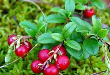 Применение листьев брусники при различных заболеваниях