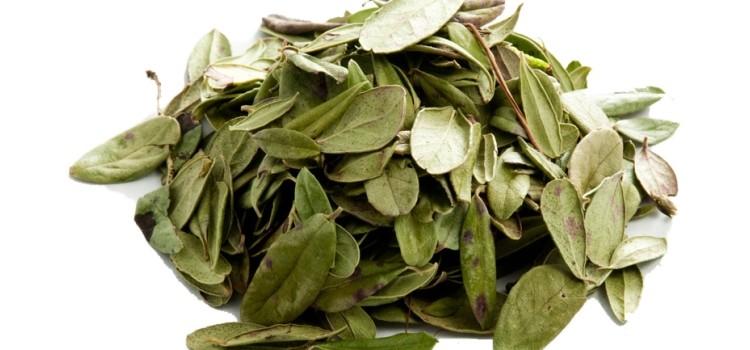 Важное о противопоказаниях и лечебных свойствах листьев брусники