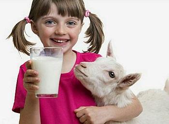 Употребление козьего молока и лечебные свойства продукта