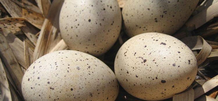 Утиные яйца - все о пользе и вреде этого продукта питания