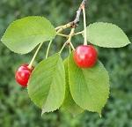 Листья вишни - пролезные свойства, противопоказания и рецепты приготовления