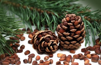 О целебных свойствах кедровых орехов и насколько они полезны