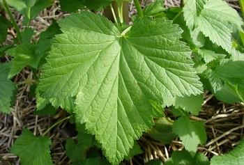 Применение листьев красной и черной смородины в косметологии