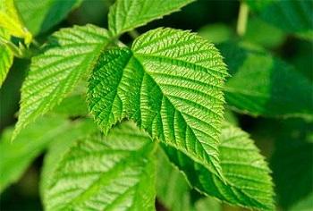 В чем польза и вред листьев малины - состав продукта