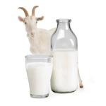 Чем полезно козье молоко?