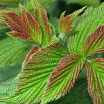 Листья малины - полезные свойства, противопоказания и рецепты приготовления
