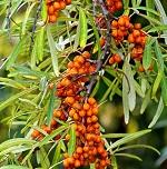 Листья облепихи - полезные свойства, противопоказания и применение в лечебных целях