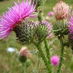 Полезные свойства и противопоказания к применению растения расторопша