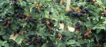 Лечебные свойства и применение листьев ежевики