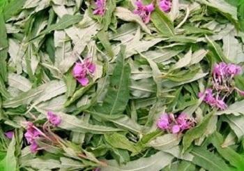 Способы заготовки и правила хранения целебной травы иван-чая