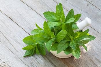 Все о целебных свойствах мелиссы и как приготовить отвар из лимонной травы