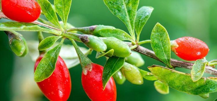 Как принимать ягоды годжи, польза и вред плодов