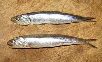 Анчоусы - что это за рыба и где она обитает