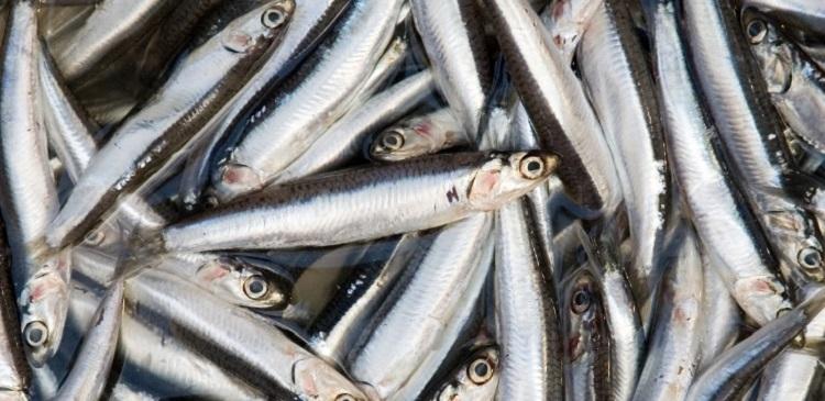 Анчоусы - состав морепродукта и правила его употребления