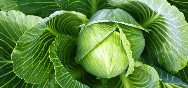 помогает похудеть капуста белокочанная