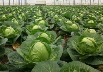 Огромная польза и возможный вред белокочанной капусты