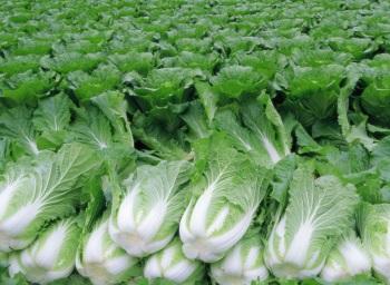 Польза и вред китайской капусты для организма человека