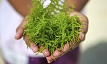 Все подробности о лечебных свойствах, пользе и вреде морской капусты