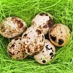 В чем заключается польза сырых перепелиных яиц для здоровья человека?
