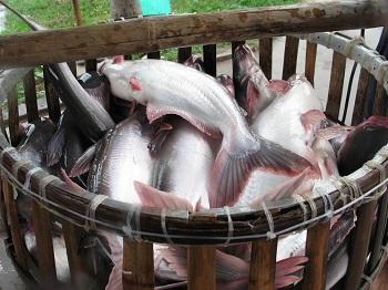 Все о рыбе пангасиус и как выбрать продукт хорошего качества
