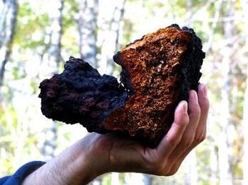 Противопоказания к употреблению гриба чага и его действие на организм