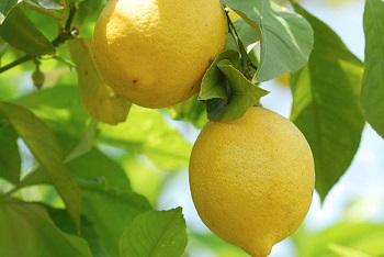 Лимон, его полезные свойства и как выбрать качественный продукт