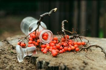 Красная рябина: полезные свойства и противопоказания, применение для похудения