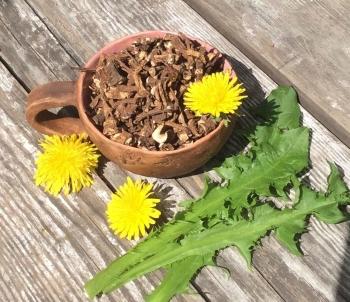 Корень одуванчика: полезные свойства для аллергиков, диабетиков, и противопоказания