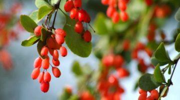 Барбарис, его полезные свойства и противопоказания к употреблению