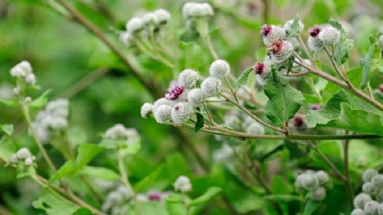 Чем полезен лопух, и какое растение считается лечебным