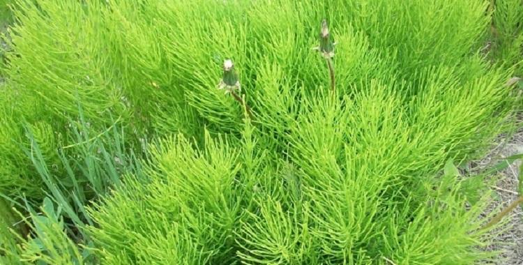 Хвощ полевой - фото, состав и лечебные свойства растения