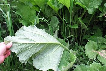 Использование листьев лопуха в лечебных целях в рамках народной медицины