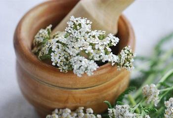 Как используют траву тысячелистник в медицине - полезные рецепты