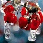 Калина красная - лечебные свойства и противопоказания к употреблению ягод