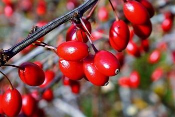 Лечебные свойства и противопоказания барбариса для здоровья человека