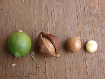 Орех макадамия: полезные свойства, советы по выбору качественного продукта