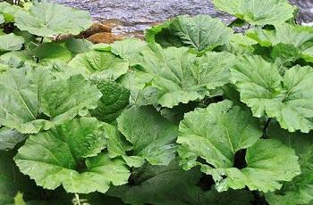 Польза и вред листьев лопуха для здоровья человека - основные моменты