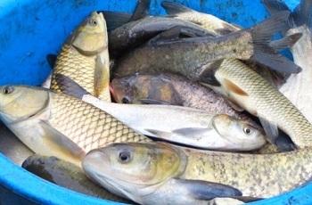 Польза и вред рыбы белый амур для здоровья человека - основные моменты