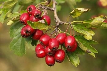 Противопоказания к употреблению боярышника и действие ягод на организм