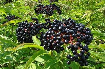 Противопоказания к употреблению черной бузины и действие плодов на организм