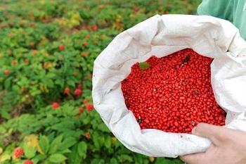 Противопоказания к употреблению лимонника китайского и действие ягод на организм