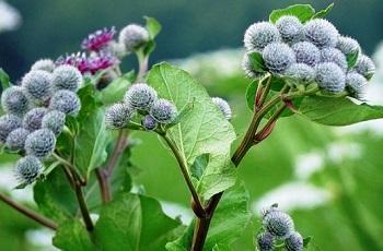 Противопоказания к употреблению листьев лопуха и действие растения на организм