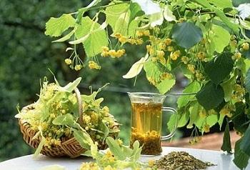 Противопоказания к употреблению цветов липы и действие растения на организм