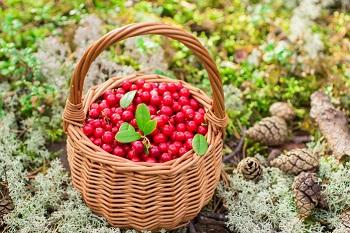 Рекомендации по употреблению брусники и химический состав ягод
