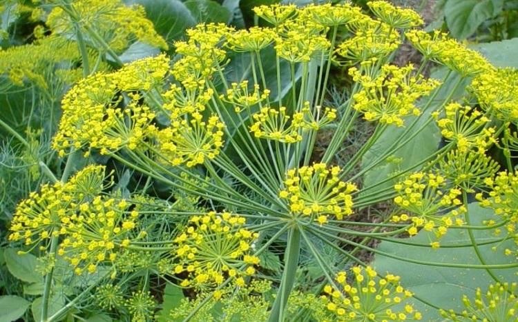 Семена укропа - польза и вред, полезные свойства и противопоказания продукта