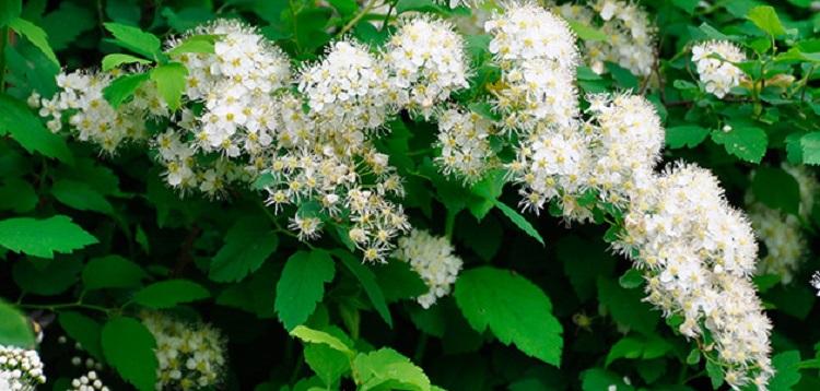 Таволга - состав и полезные свойства лекарственного растения